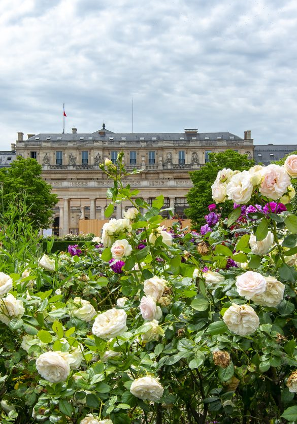 Paris, France - May 2018: Palais Royal garden full of roses in center of Paris
